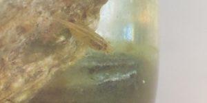 石の後ろでおとなしくするミナミヌマエビ